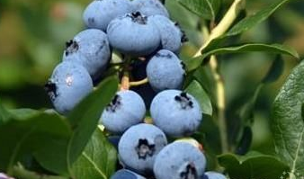 """""""日照蓝莓""""成功注册为国家地理标志证明商标"""
