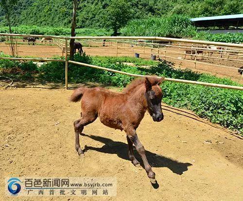 """南宁市首个动物类地理标志""""马山黑山羊"""""""